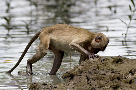 Crab eating macaques, Borneo: carriers of Plasmodium knowlesi malaria infection